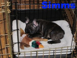 french bulldog crate training crate training bluegrass frenchies 9169