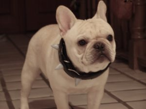 Cream Frenchies Have A Uniform Eggshell Coloration Unless They Are Pieds In Which Case The Color Patches On Their Bos Shade Of